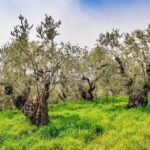 小豆島のオリーブの品質と代表的オリーブ農園の紹介
